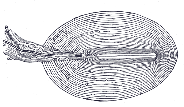 Illustration of Pacinian corpuscle by Henry Vandyke Carter in Gray's Anatomy (1918)